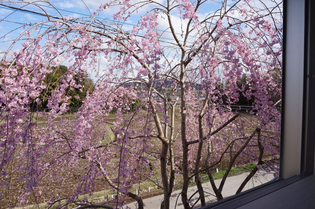 作業場の枝垂桜がようやく満開に。3月の寒さのせいで開...